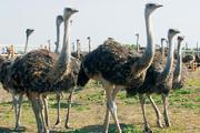 Fertile ostrich eggs for hatching and healthy ostrich chicks for sale