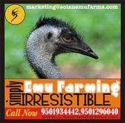 Emu Farming       Emu Farming     Emu Farming