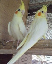 Cockatiels for sale