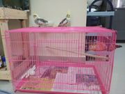 Cockatiel with cage for sale