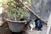Fantail Pigeon Sales in Chennai @9 8 4 1 5 4 3 0 8 3
